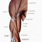muscoli_di_braccio