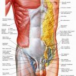 muscoli_addominali_superficiali